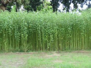 ジュート畑